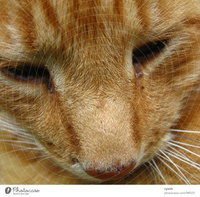 hangover Cat Red Snout Moustache Animal Pet Grief Affection Pelt Macro (Extreme close-up) Close-up Mammal Domestic cat orange Eyes Sadness Old devoted