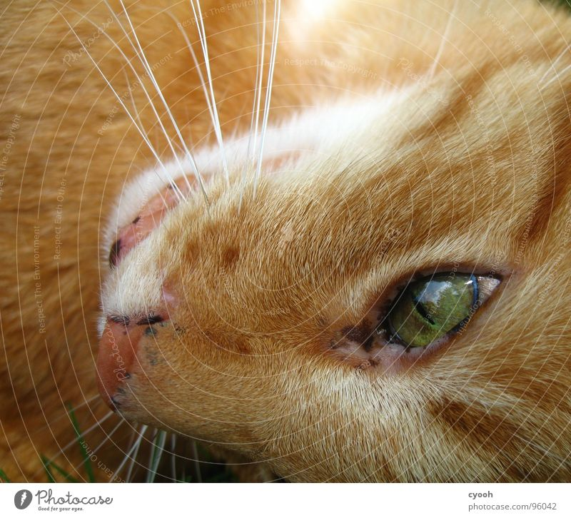Green Red Eyes Animal Hair and hairstyles Cat Pelt Pet Mammal Snout Domestic cat Affection Moustache Cat eyes