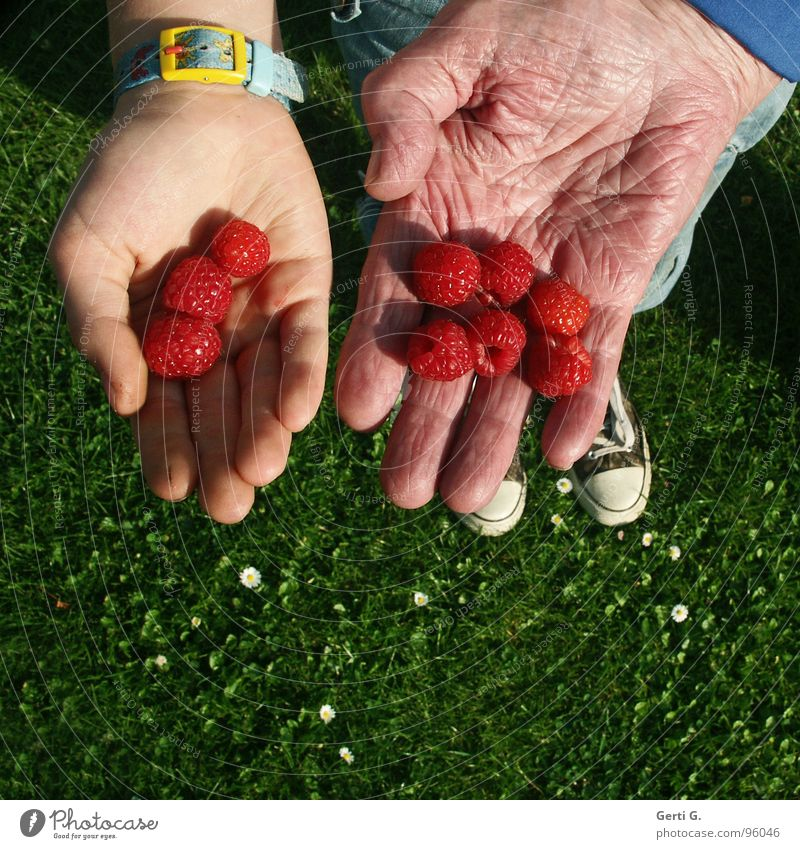 11 + 86 Raspberry Round 3 Dried up Wrinkles Senior citizen Picked Red Hand 2 Offer Presentation Fingers Footwear Chucks Grass Meadow Green Daisy Fruit