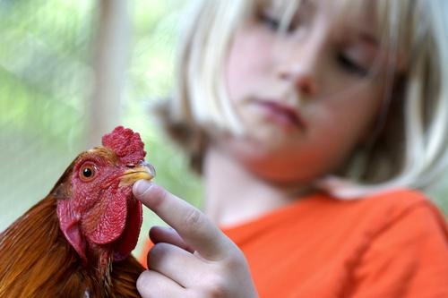 Fritz the cock: Girl with cock Food Egg Poultry Nutrition Parenting School Agriculture Forestry Child 1 Human being 8 - 13 years Infancy Animal Pet Farm animal