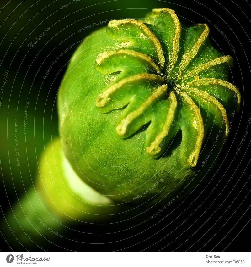 Flower Green Plant Summer Black Blossom Round Sphere Stalk Poppy Grain Seed Sprinkle Poppy blossom Corn poppy