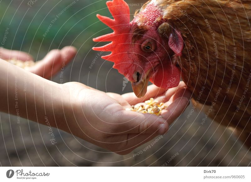 Eats out of your hand too Food Poultry Egg Parenting School Agriculture Forestry Environment Animal Pet Farm animal Bird Animal face Crest Head Barn fowl 1