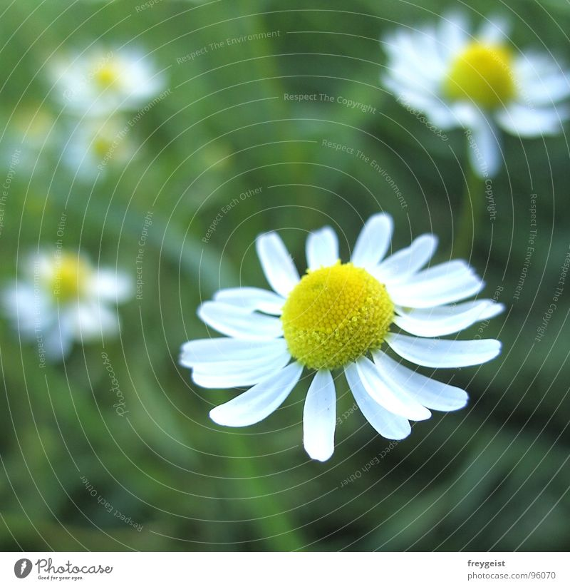 Chamomile is good for you Flower Plant Healthy Blur Meadow Medicinal plant