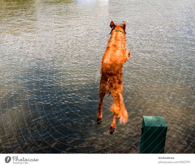 Dog jumping off dock into water Summer Nature Animal Water Weather Beautiful weather Pond Lake Blue Brown Yellow Gray Green Black White Colour clear orange