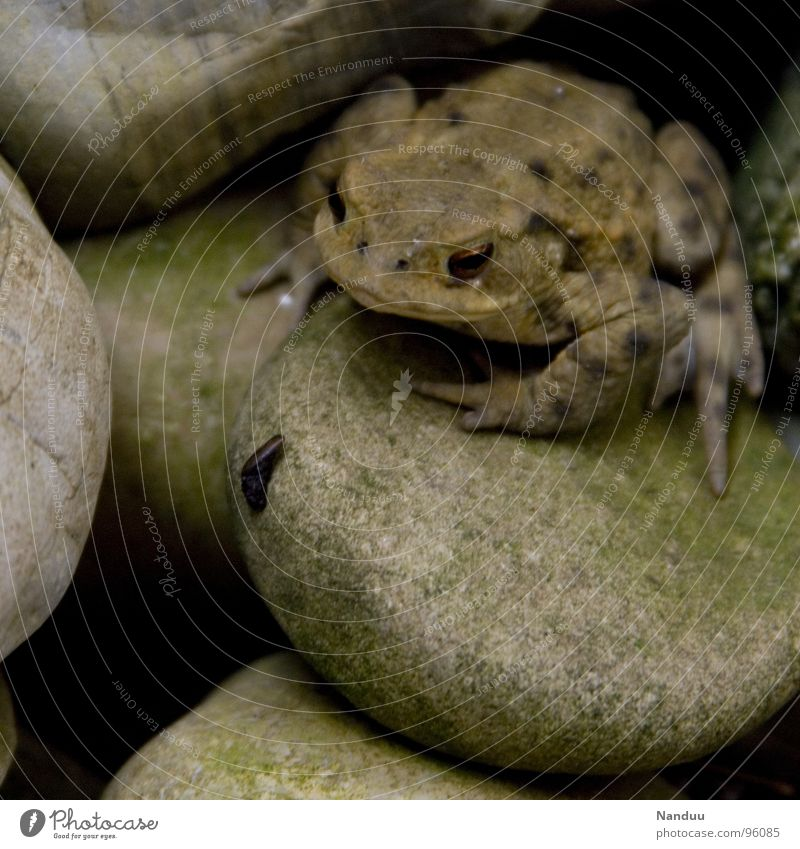 Hugo looks Calm Animal Frog Stone Observe Fat Cold Green Comfortable Environmental protection Beige Common toad Camouflage colour Damp Motionless Painted frog
