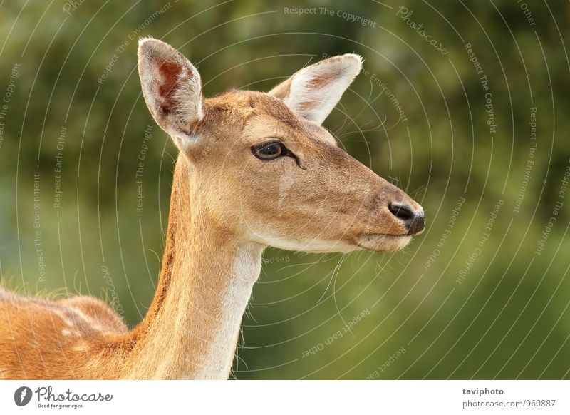 fallow deer hind portrait Beautiful Face Hunting Summer Woman Adults Environment Nature Landscape Animal Park Forest Fur coat Natural Wild Brown Green head
