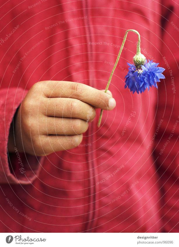broken Cornflower Flower Broken Red Jacket Child Girl Hand Slope hang one's head Blue bluebottle cracked hump buckled