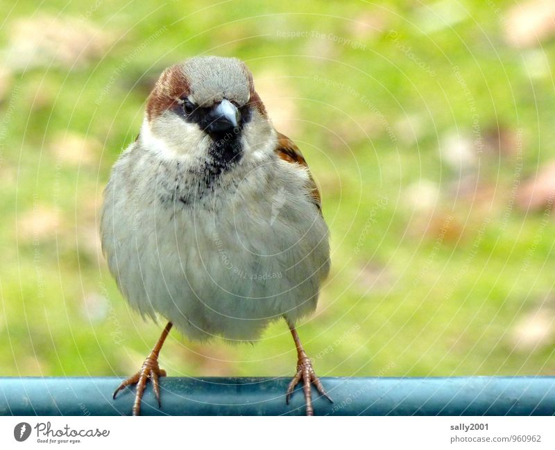 on slender feet... Animal Bird Sparrow 1 Observe Flying Sit Stand Wait Friendliness Beautiful Small Curiosity Round Soft Brown Gray Expectation Contentment