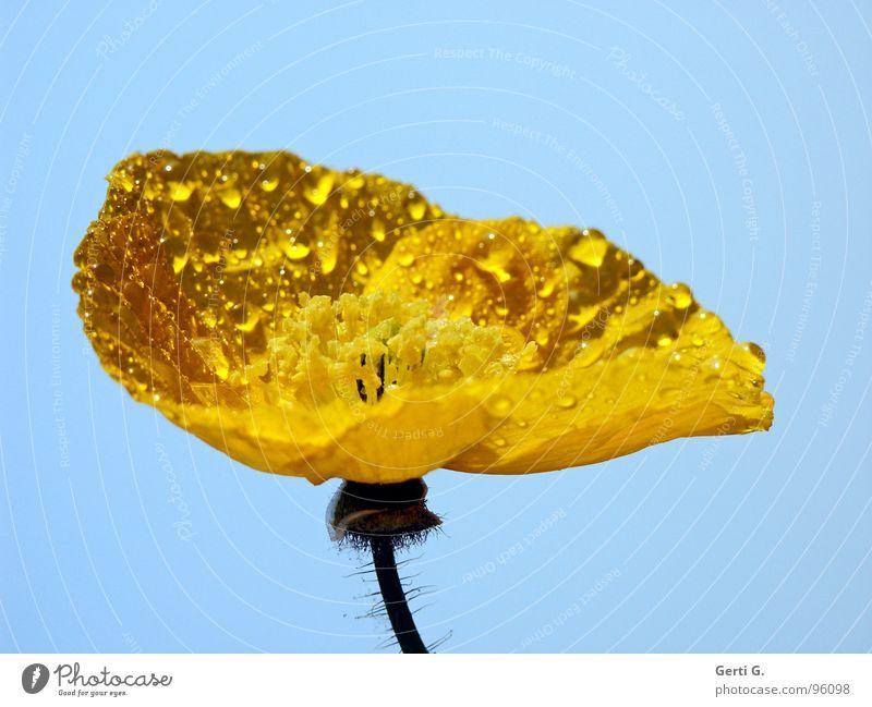 Sky Nature Blue Beautiful Colour Flower Yellow Blossom Lighting Art Rain Orange Drops of water Wet Delicate Stalk