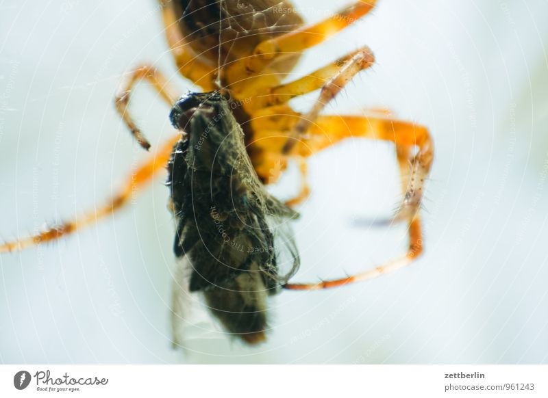 Fly + Spider Prey Anesthetized Capture Healthy Eating Dish Food photograph Set of teeth To feed Garden Hunting Cross spider Nursery web spider