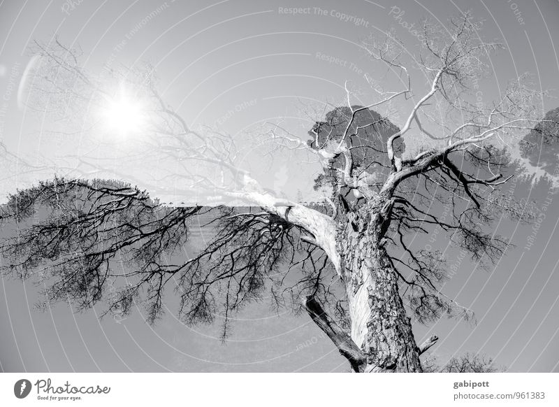 tree.sun.double Environment Landscape Beautiful weather Plant Tree Exceptional Gray White Flexible Life Double exposure Visual spectacle Black & white photo