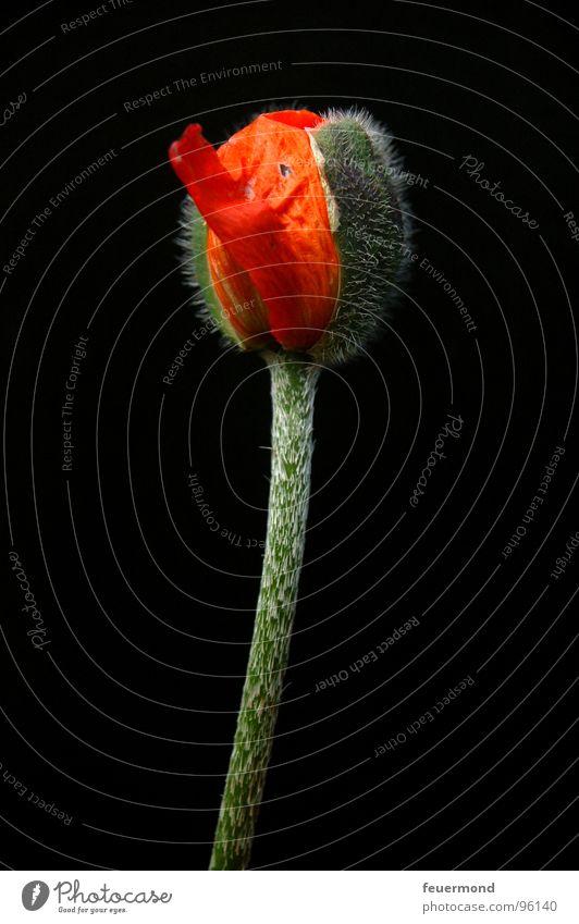 Plant Blossom Sleep Poppy Bud Wake up Outbreak