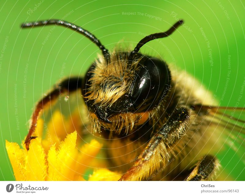 Earth bee ( Andrena florea ) 01 Sand bee Bee Wasps Insect Honey Diligent Yellow Black Green Striped Summer Spring Feeler Animal Collection