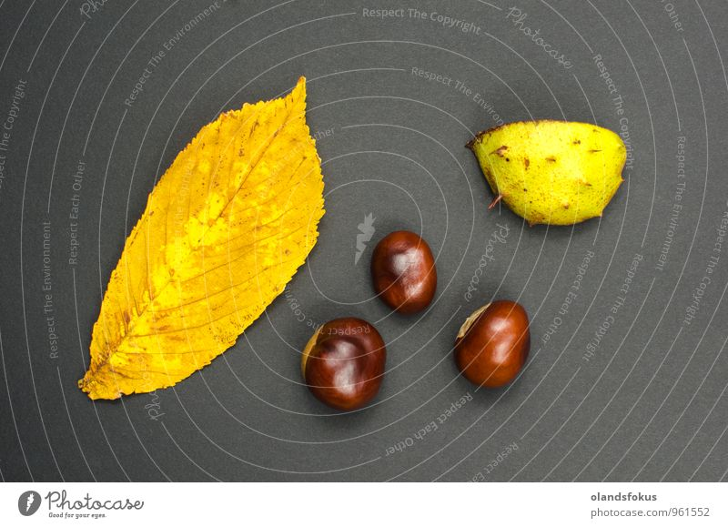 Chestnuts still life Nature Plant Tree Leaf Yellow Autumn Natural Brown Fresh Harvest Raw Shell Chestnut tree Unpeeled