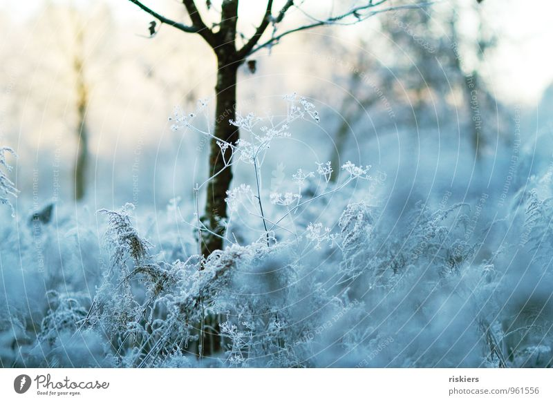 frosty beautiful. Environment Nature Landscape Plant Sun Winter Weather Beautiful weather Ice Frost Tree Flower Aegopodium podagria Dill Field Forest Fresh Cold