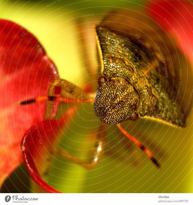 Summer Flower Eyes Animal Brown Insect Feeler Blossom leave Bug Russet Shield bug Sloebug