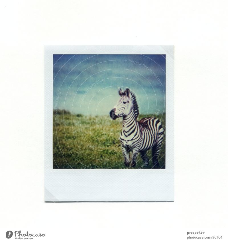 Green Blue Polaroid Africa Mammal Striped Zebra