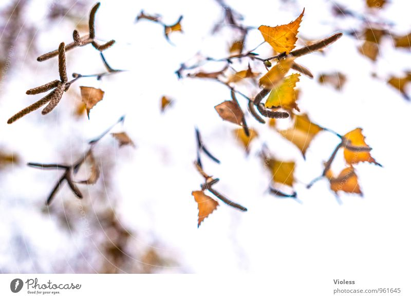 the falling... Nature Plant Autumn Tree Leaf Natural Brown Yellow Birch tree kitten Experimental High-key