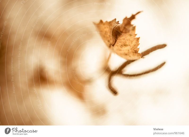Autumn Review II Environment Nature Plant Tree Leaf Old Faded Natural Brown Birch tree kitten Seed head Experimental Abstract Silhouette Blur