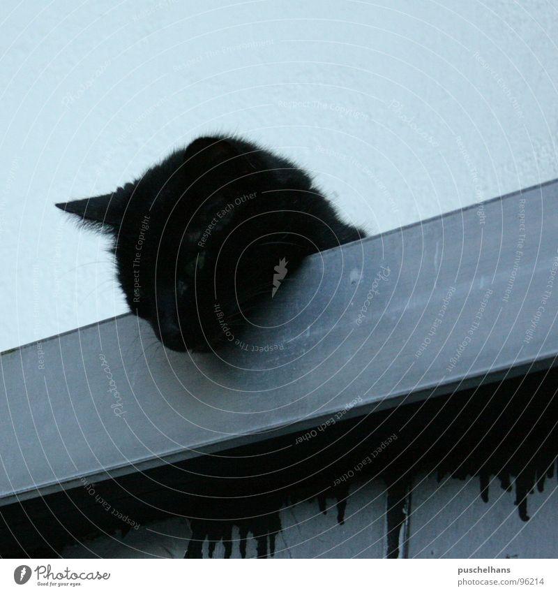Cat Blue Black Roof Pelt Mammal Diagonal Disaster Timidity Free-living Prowl Popular belief Corrugated iron roof Street cat