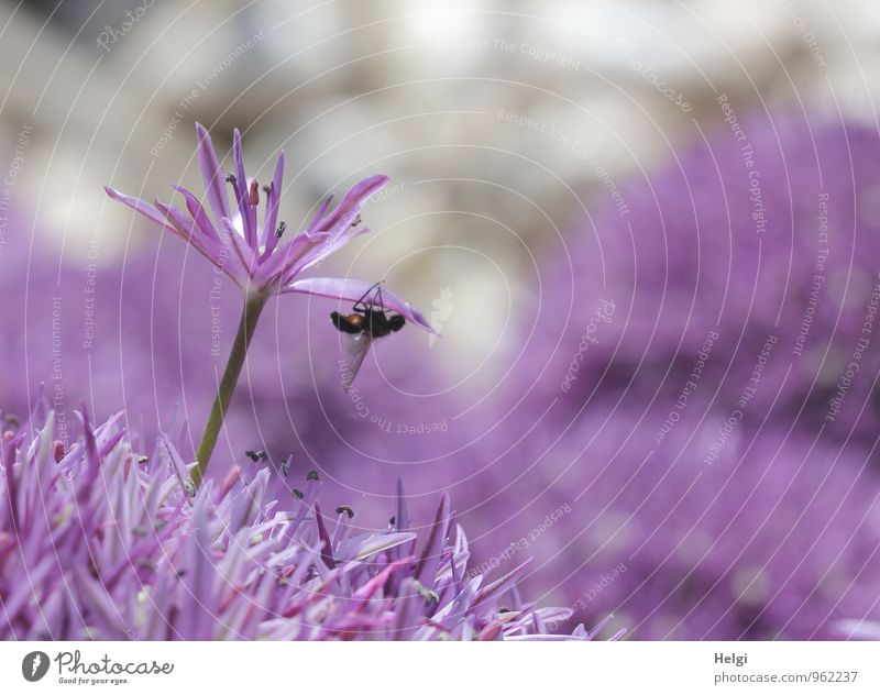 algal Environment Nature Plant Spring Flower Blossom Garden Animal Fly 1 Blossoming Growth Esthetic Exceptional Beautiful Uniqueness Small Natural Gray Violet