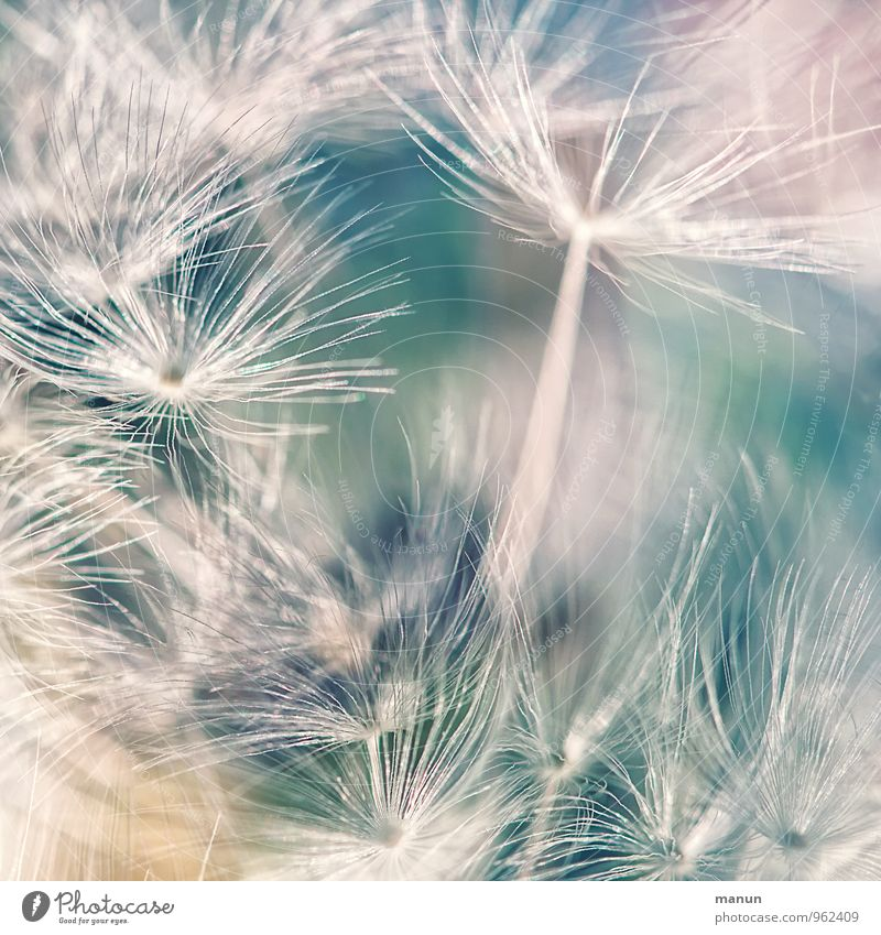 glider pilots Nature Plant Bushes Wild plant Seed plant Dandelion Tailed seeds Propagation Weed Natural Soft Blue Turquoise White Growth Delicate Colour photo
