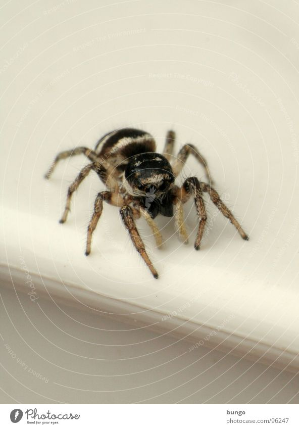 Eyes Small Fear Disgust Spider Articulate animals Mandible Eating mechanism Chelicerae Zebra spider