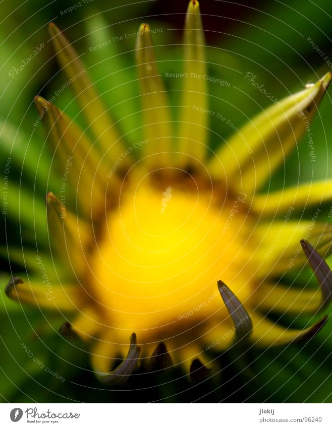Sun Flower Blossoming Blur Plant Meadow Living thing Yellow Green Lighting Blossom leave Background picture Spring Summer Faded Near Macro (Extreme close-up)