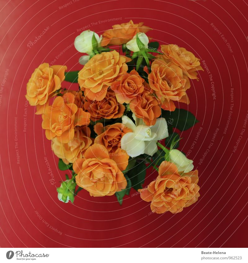 Plant Beautiful Colour White Red Emotions Blossom Friendship Orange Elegant Power Crazy Esthetic Creativity Force Rose