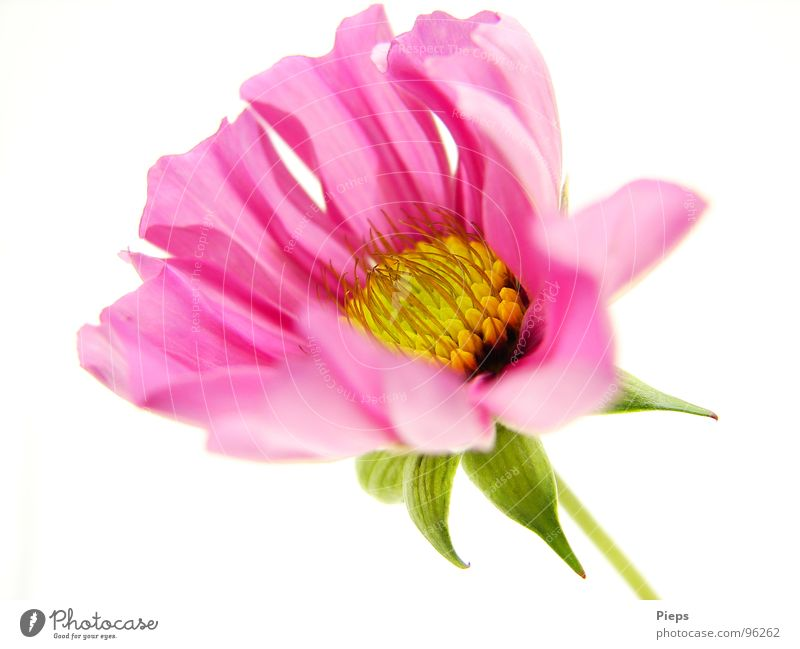 Nature Flower Plant Summer Blossom Pink Transience Blossoming Development Blossom leave Cosmos