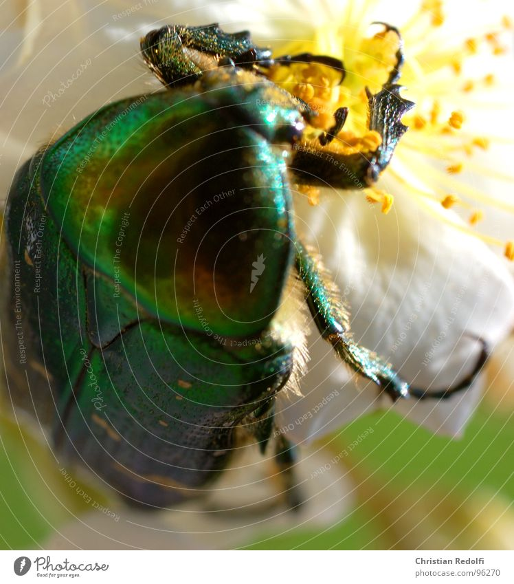 insect Beetle Insect Blossom Nutrition Green Gold Glittering Legs Shell Tank Animal To feed Flying Crawl Work and employment Crank Plant Rose blossom