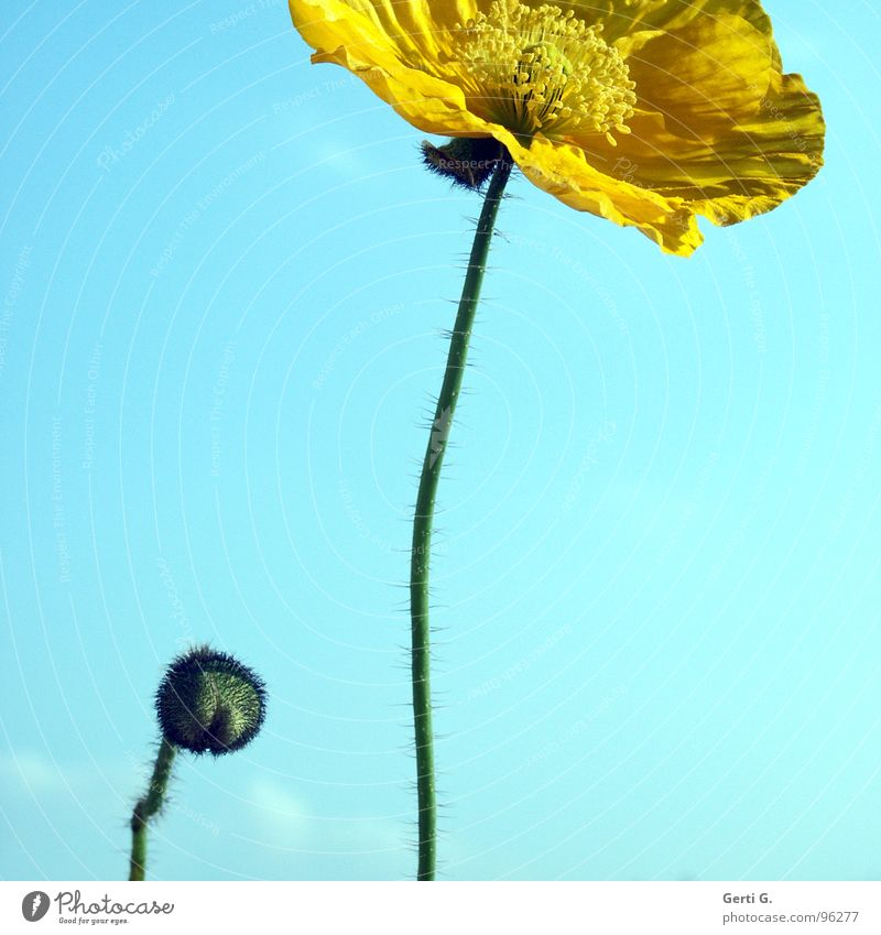 Nature Sky Flower Blue Summer Yellow Blossom Lighting Art Small Large Delicate Exceptional Stalk Poppy