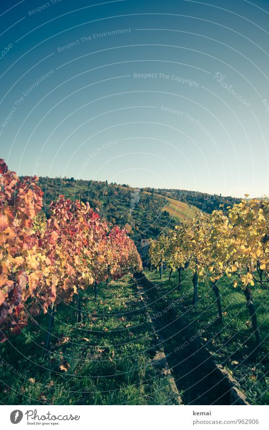Red wine vs. white wine Environment Nature Landscape Plant Cloudless sky Sunlight Autumn Beautiful weather Bushes Agricultural crop Vine Vineyard Field Hill