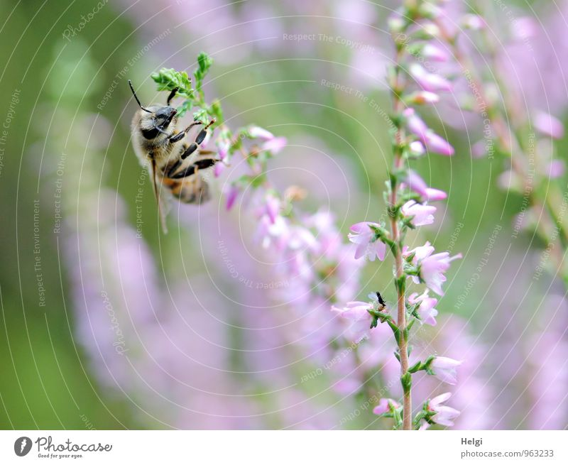 heather honey collector... Environment Nature Plant Summer Beautiful weather Blossom Wild plant Heather family Luneburg Heath Animal Farm animal Bee 1