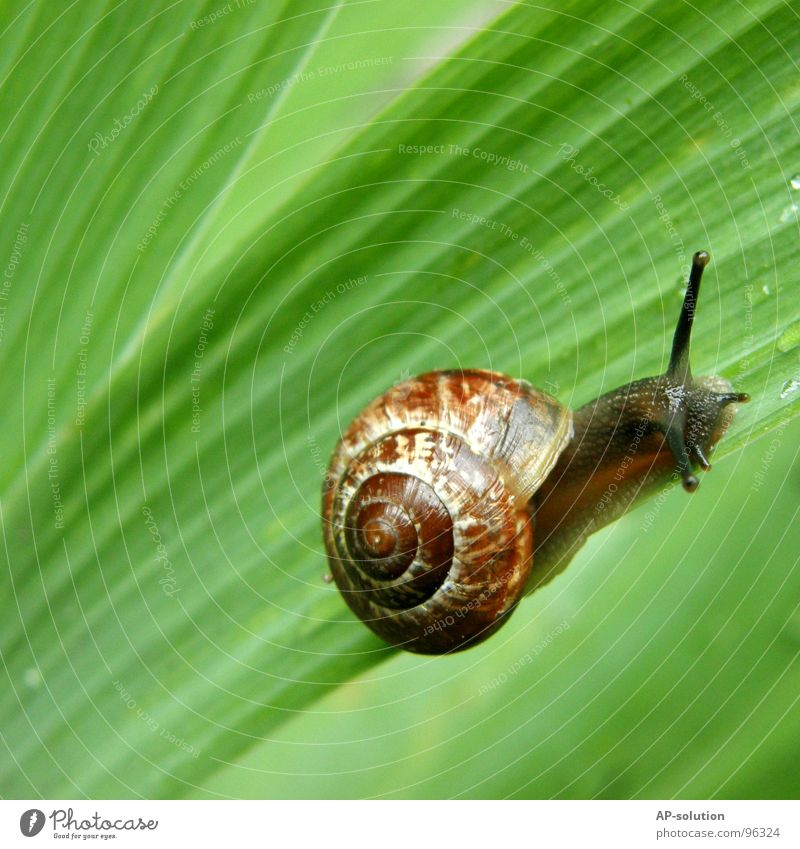 Snail *3 Air-breathing land snail Animal House (Residential Structure) Snail shell Slimy Mucus Feeler Crawl Slowly Speed Spiral Leaf Grass Withdraw Fragile