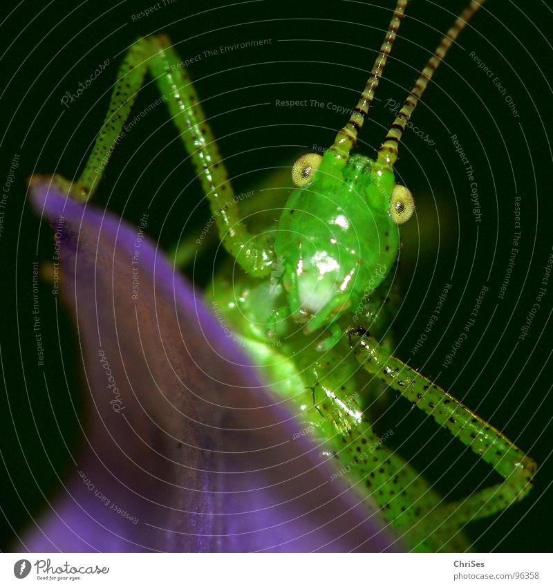 Green Summer Black Eyes Animal Jump Grass Blossom Legs Insect Violet Living thing Feeler Hop Locust House cricket