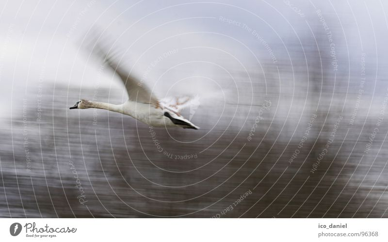 Nature Animal Environment Bird Flying Speed Wing Wing Munich Swan Wilderness Judder Duck birds Isar Span Fly-by