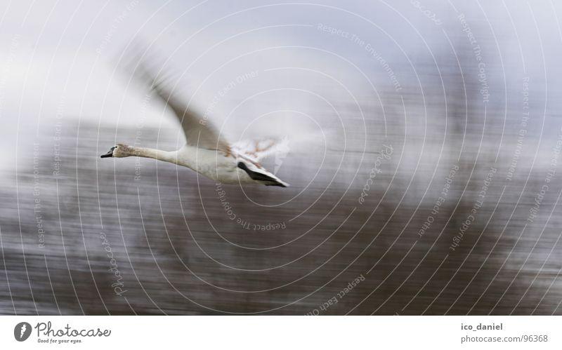 Up and away! - swan Environment Nature Animal Bird Swan Wing 1 Speed Isar Munich Judder Wilderness Span Colour photo Exterior shot Motion blur Flying Duck birds