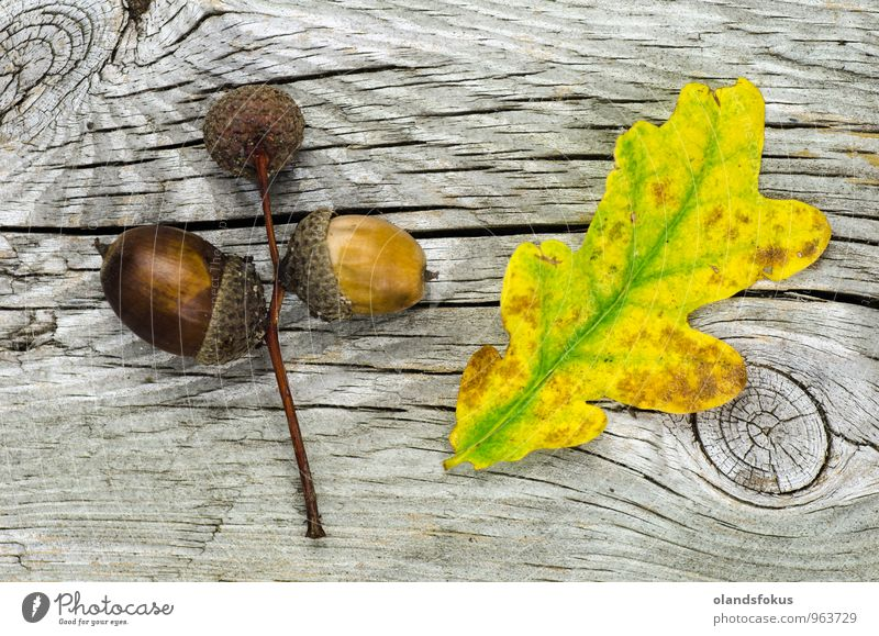 Autumn still life decoration Design Life Decoration Nature Plant Tree Leaf Fresh Natural Yellow Green Colour Acorn acorns background Botany close fall nut nuts