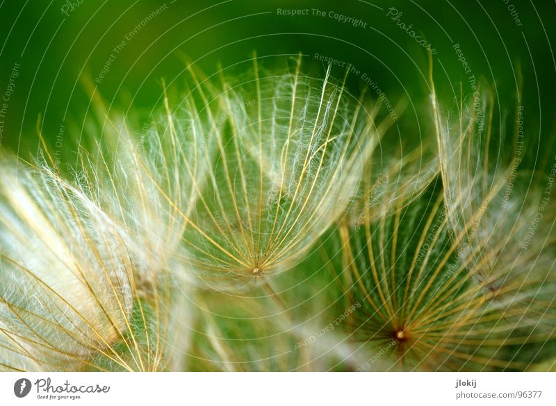 Nature Green Plant Flower Calm Meadow Blossom Moody Wind Flying Soft Blossoming Delicate Dandelion Blow Hover