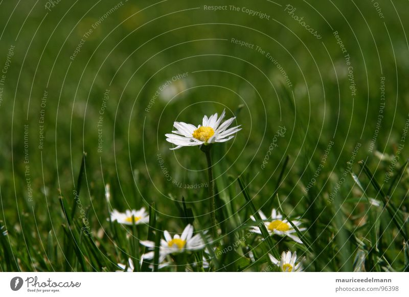 Beautiful White Flower Green Summer Yellow Grass Garden Small Lawn Near Daisy Zoom effect Momo