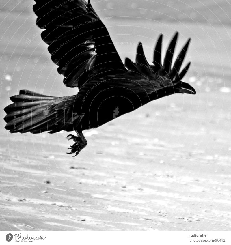 Black bird Crow Carrion crow Raven birds Bird Animal Beach Coast Ocean Swing Feather Gray Claw Black & white photo Aviation Beginning Sand Dynamics Power Wing