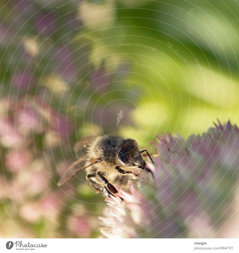 A bee in blooms Environment Nature Plant Animal Sun Sunlight Spring Summer Weather Beautiful weather Flower Farm animal Bee 1 Work and employment Illuminate