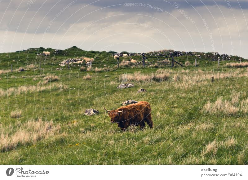Lord of the lush meadows Environment Nature Landscape Plant Animal Sky Summer Beautiful weather Meadow Field Hill Farm animal Cattle Highland cattle 1 Fresh