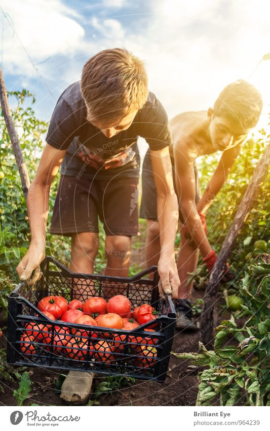 young harvesters pick tomatoes Summer Agriculture Forestry Masculine Boy (child) 2 Human being Nature Sunlight Beautiful weather Agricultural crop Field