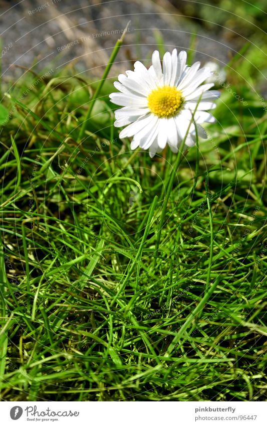 concrete bloom Spring Summer Flower Meadow Daisy Green White Yellow Blossom Grass Depth of field Fresh Hope Beautiful Concrete Enclosed Captured Symmetry