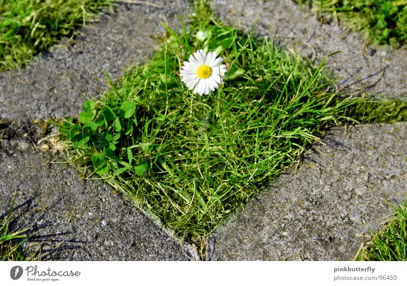 Enclosed Beauty Spring Summer Flower Meadow Daisy Green White Yellow Blossom Grass Depth of field Fresh Hope Beautiful Concrete Captured Symmetry Rectangle Lawn