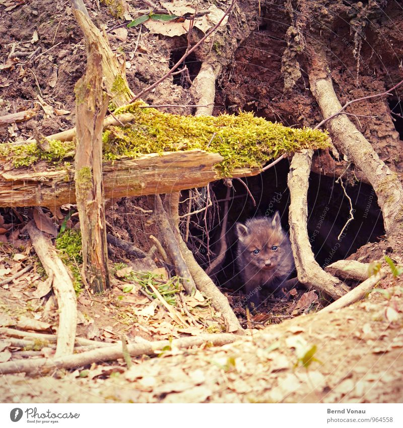 fox's den Beautiful Nature Animal Forest Baby animal Small Curiosity Cute Brown Green Protection Fox Earth hole Foxs den Hiding place Cave Nose Pelt Root Tree