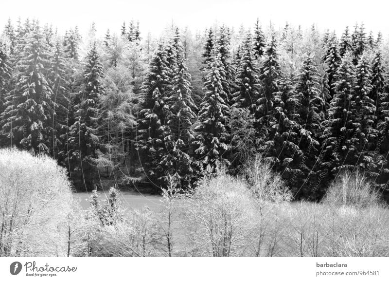 white as snow Sky Winter Snow Tree Fir tree Forest Black Forest Bright White Moody Joy Idyll Cold Climate Nature Senses Environment Black & white photo