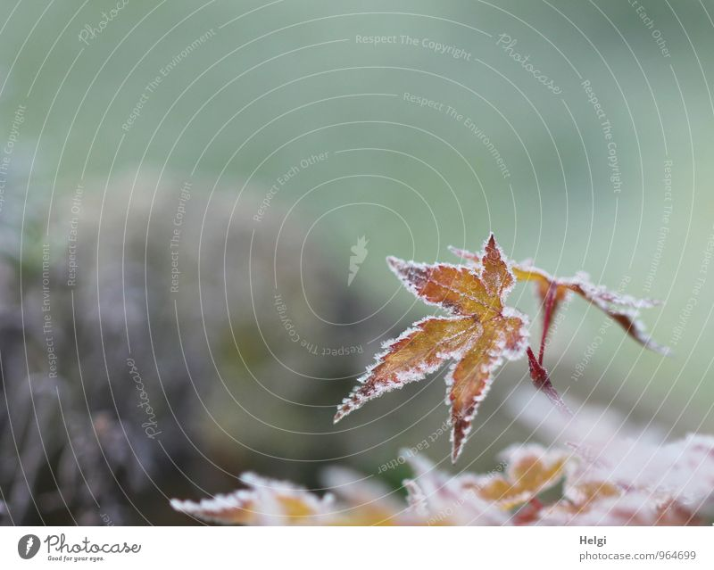 hoarfrosty Environment Nature Plant Winter Ice Frost Bushes Leaf Maple leaf Garden Old Freeze To dry up Growth Esthetic Exceptional Uniqueness Cold Small